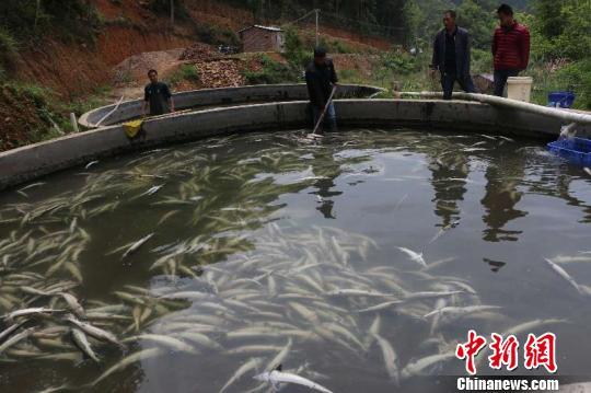 广东河源和平县两起鲟鱼遭投毒案告破 嫌疑人已经被抓获