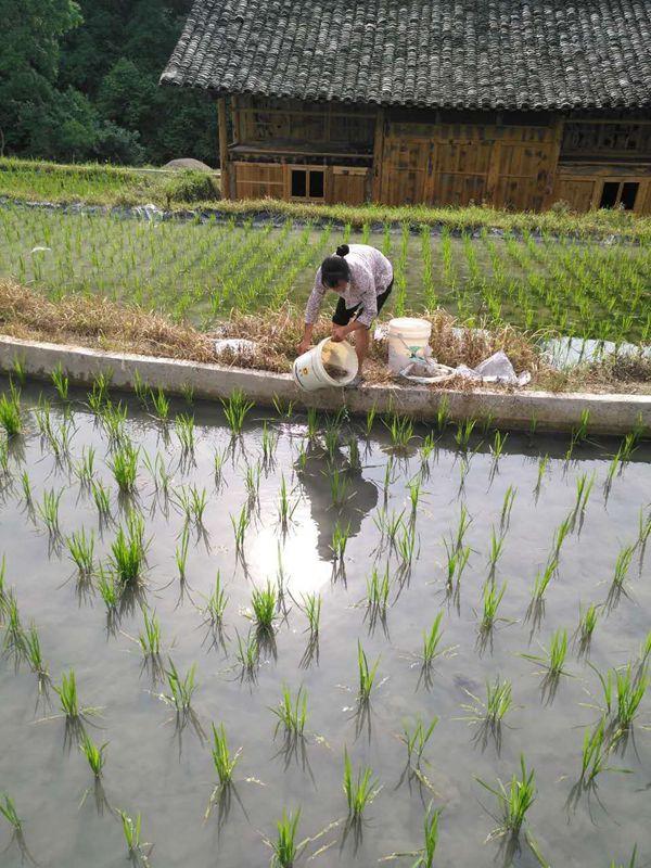 贵州镇远县羊场镇组织发放2018年稻田养鱼综合种养项目示范点鱼苗