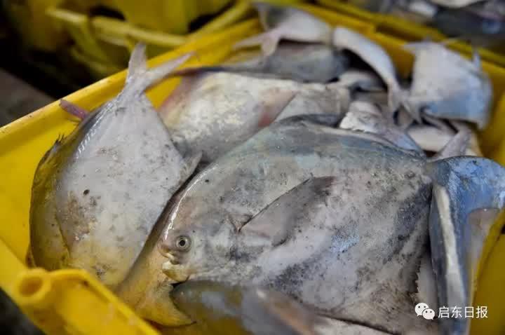 在卸货现场,陶卫江指着框里的一条条梅子鱼介绍,这些梅子鱼长度在8公分左右,批发出去3元一斤,直接发到加工厂做冷冻处理。 为了保证海鲜新鲜,在春节期间,船员们就为出海捕捞做足了准备,渔船上的装货框、泡沫盒都整齐地码放好,冰块也全部预备好,只等新鲜的鱼虾上船。船员在返航过程中,就抓紧进行分拣整理,将其分门别类装框,船一靠码头就可以马上卸货发货。 来源:启东日报 分享到: