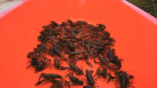 广西贵港平南县东华镇小龙虾养殖基地的小龙虾捕捞上市啦!