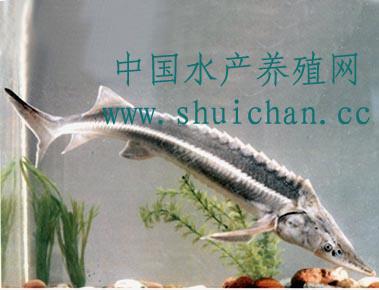 鲟鳇鱼是国家二级野生水生保护动物
