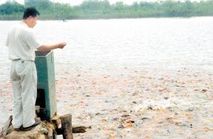 天津西青区池塘养殖锦鲤获得成功