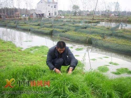 湖北仙桃胡场镇水产结构调整掠影图片