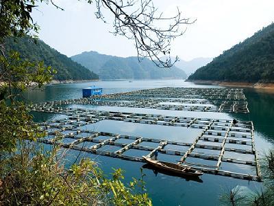 千岛湖鮰鱼养殖基地