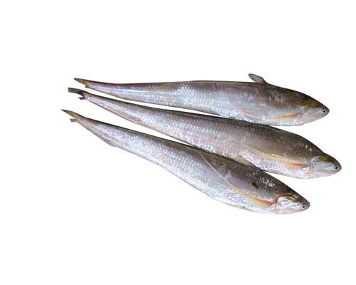 刀鱼----极其鲜美之鱼,在杭州湾里盛产的鲚鱼即是兄弟