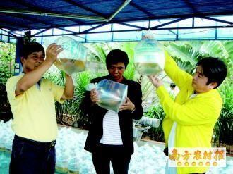 广东中山:投苗高峰 优质南美白对虾苗受宠