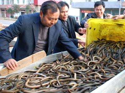 江西进贤县三里乡黄鳝产业总产值预计可达1.8亿