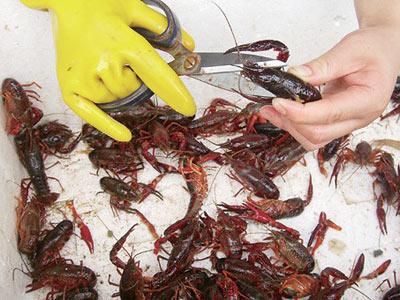 小龙虾清洗方法