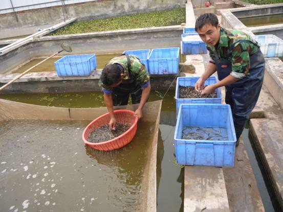 重庆铜梁县泥鳅苗种超万斤 稻鳅双千有种源