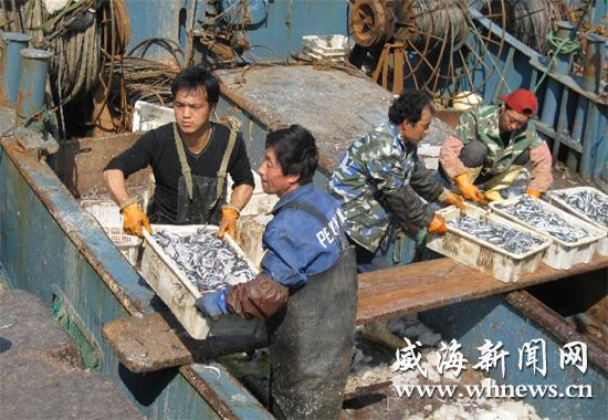 正在山东威海市石岛渔港指挥船员卸鱼;