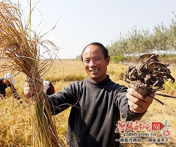 唐山市唐海县稻蟹混养大丰收 每亩增收500元