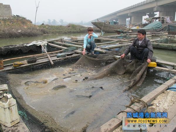 广西防城港茅岭夫妇靠养殖鲈鱼 买了两套房和车