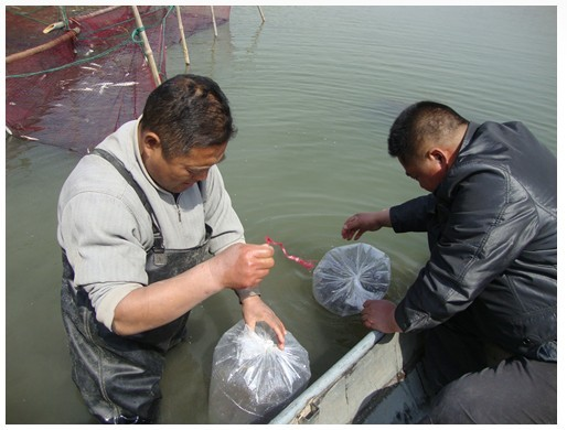 江苏金湖县宝应湖农场认真做好科技示范户鳜鱼苗种投放工作