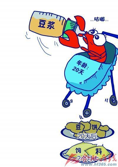 安徽合肥小龙虾收购价上涨 龙虾宝宝喝豆浆七八