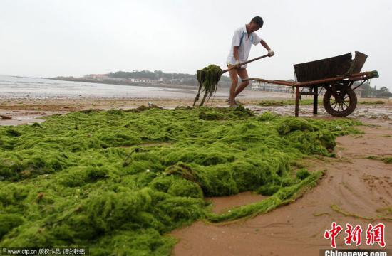 青岛第三海水浴场工作人员正在清理浒苔