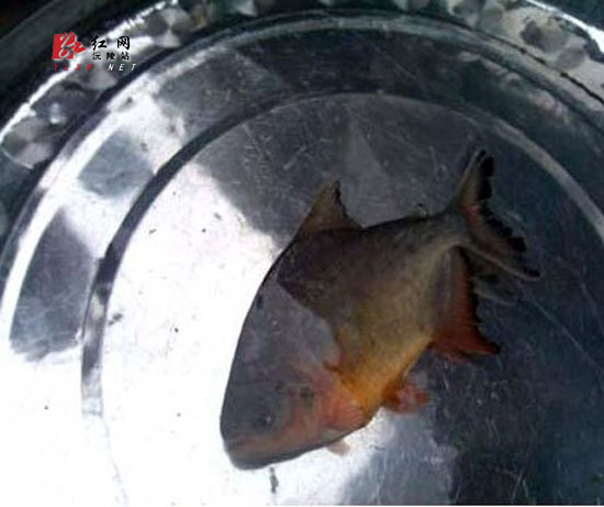 湖南沅陵虚惊一场并非长牙草鱼白鲳捕获食人猪肉吃淡水图片