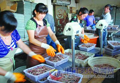 浙江玉环水产品加工厂渔货丰收加工忙