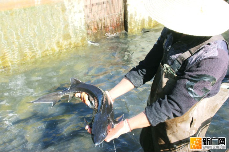 村大力发展养殖鲟鱼鳟鱼