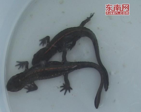 """寿宁法院解救两条国家二级重点保护野生动物""""娃娃鱼"""""""