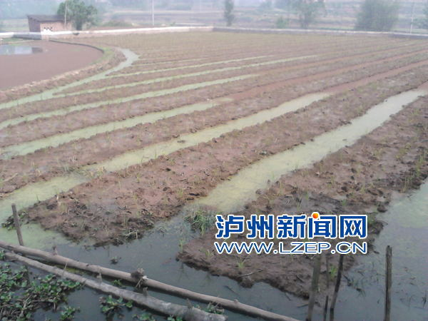 稻田养殖小龙虾