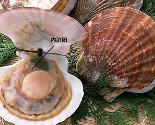 贝类内脏结构图