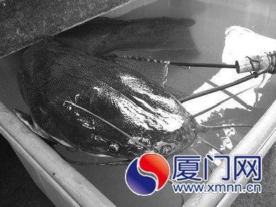 福建厦门一村民捕获二十多斤的鲶鱼 鱼头有成人