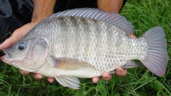 福建省罗非鱼种业工程在顺昌实施取得好效果