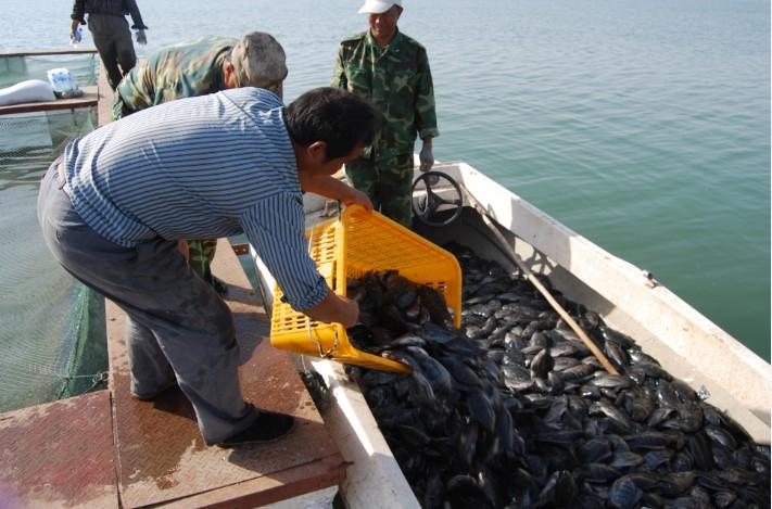 新疆兵团第二师塔里木水管处恰拉水库网箱贵妃鱼喜获丰收