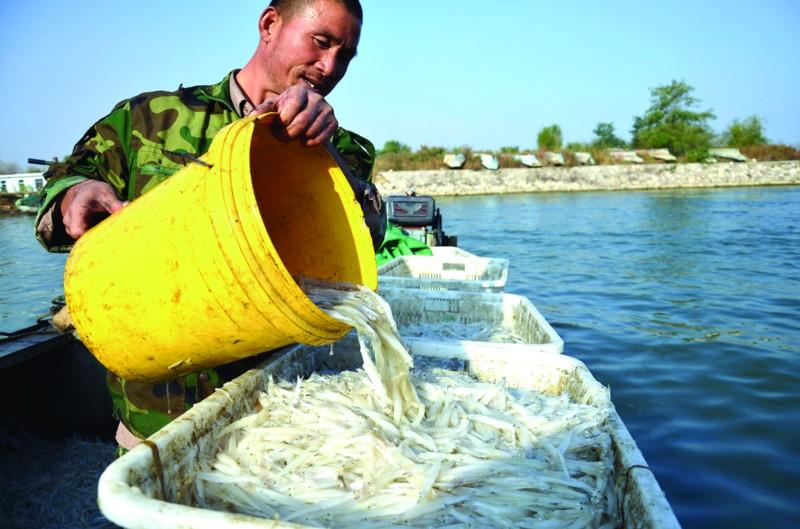 山东青岛莱西湖大银鱼丰收啦 年产120吨远销东南亚