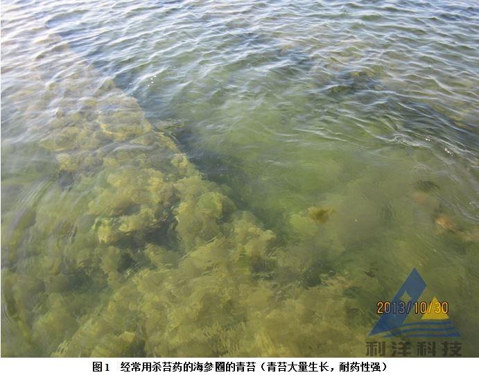 辽宁东港市黄土坎镇王老板有一个93亩海参圈,投放大约4000斤海参,规格