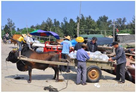 记者深入广东徐闻探访一个南美白对虾养殖村的