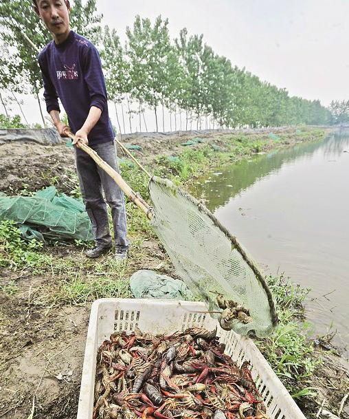 武汉小龙虾养殖_武汉虾龙水产养殖开发有限公司稻田养殖小龙虾