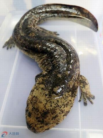 5公斤重的国家二级保护水生野生动物大鲵.
