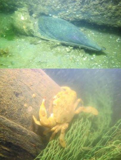 山东青岛崂山区:蛙人下海抓拍人工鱼礁 水下海洋牧场鱼蟹增多