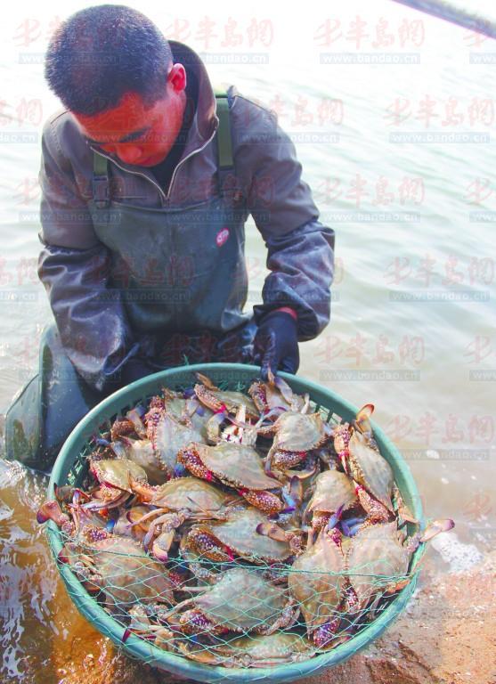 在人们印象中,海捕蟹要比养殖蟹贵,商户常拿养殖蟹冒充海捕蟹出售。可是事实并非如此,记者近日采访了解到,目前市场上在售的梭子蟹绝大多数都是海捕蟹,价格在20~&nbsp25元。另有少量的养殖公蟹,价格在15元左右。而当季最肥、最有吃头的养殖母梭子蟹,从池里拿价格都要50元左右,到了市场上零售价至少要70元。在低价海捕蟹横行的市场上,这些贵族蟹根本卖不动。它们大多被捕上来之后,放进了大棚里暂养,等到元旦、春节的时候再高价出手。   市场&nbsp20多元的海捕蟹唱主角   11月23日,记者在石臼市