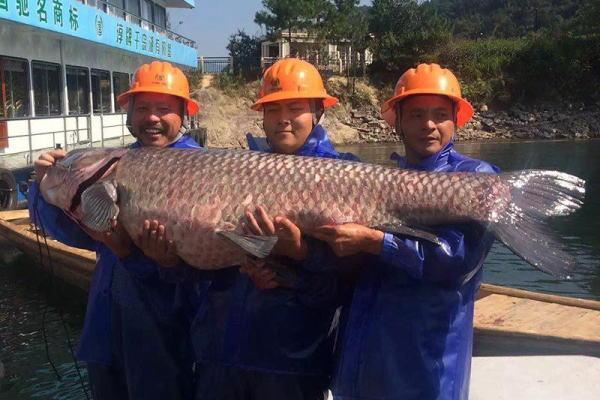 杭州千岛湖捕上180斤大鱼王