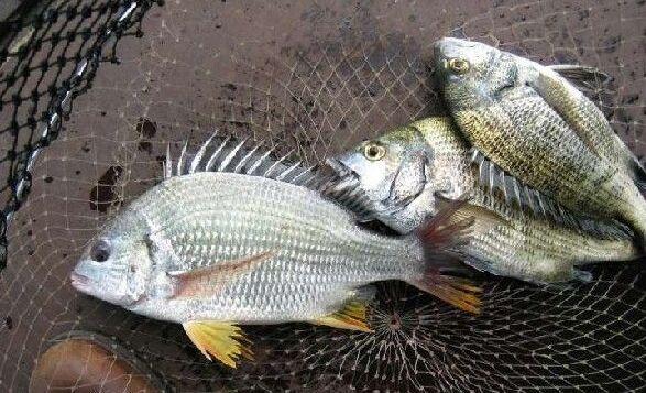 冷冻了的鱼能保险多久