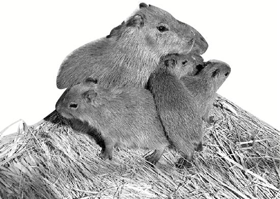 """世界上最大的老鼠""""水豚""""双11抵达杭州动物园"""