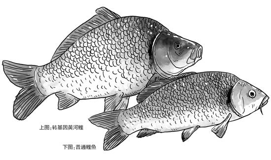 供食用的转基因动物——一种快速生长的转基因三文鱼