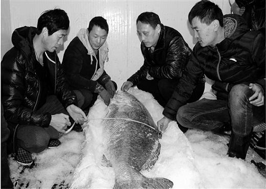 国家二级保护动物黄唇鱼现身浙江