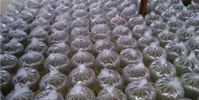 在2015中国白虾养殖整体产量下降10%的背景下,作为身处产业链上游的虾苗场,多数2016年都会有战略上的大方向转变。据了解,加强一代苗苗质、提高抗逆性,将成为苗场的生产重心。而在育苗成本提高、育苗难度增加等因素的影响下,海南虾苗价格将普遍上涨15%以上。 2月24日,在立春已经过去20几天的海南,气温却依旧维持在13上下,这个春天来得似乎有些晚。对于南美白对虾养殖来说,迟到的春天可能并不是一个好消息。气温回升缓慢,导致对虾养殖陷入僵局,养殖户推迟放苗,虾苗场延后出苗。不过对于虾苗场来说,出苗延后