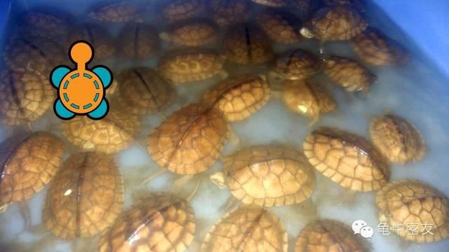 南石龟苗种市场行情怎么样 今年南石龟赚钱吗