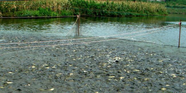 免疫增强剂为什么能预防水产养殖动物的疾病?