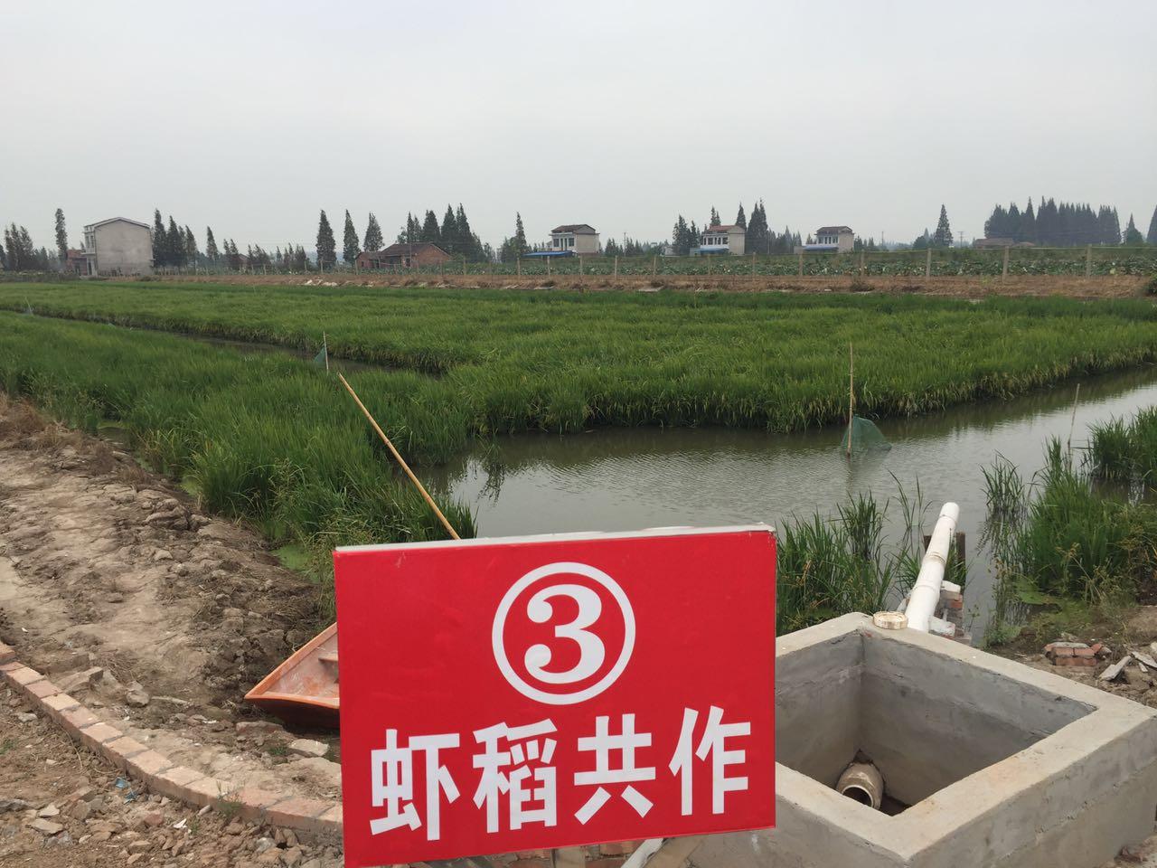 湖南益阳市南县做好小龙虾试验基地养殖前期工作
