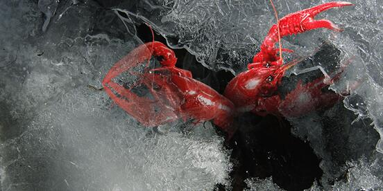 小龙虾是诞生于夏季的夜宵食品,部分南方地区和北方大部地区的冬季