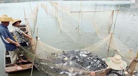 渔民捕到满满一网鱼 反而愁眉苦脸 十分无奈_水产快讯(业界动态)_中国水产养殖网