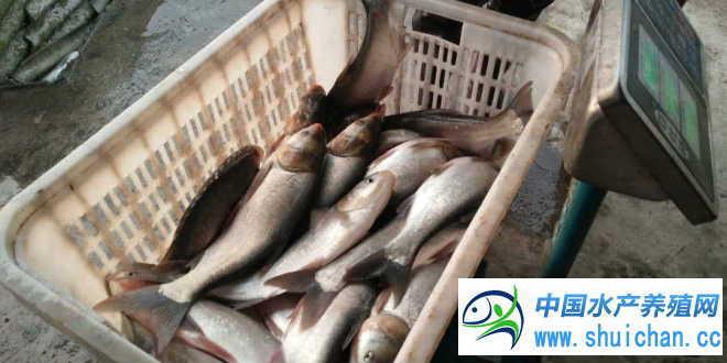 湖北湖南淡水鱼养殖户出鱼量增加 江苏盐城养鱼户等价心态重