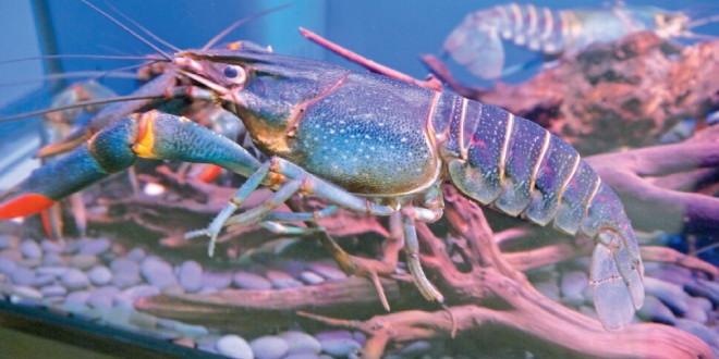 澳洲淡水龙虾养殖利润超40元/斤
