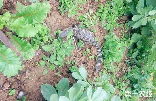 有网友说,发现小鳄鱼的地方,除了稠州公园动物园有鳄鱼,义乌海洋世界