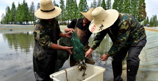 江西南昌进贤试点池塘生态养殖河蟹